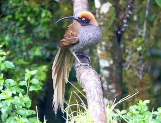 Brown Sicklebill (Epimachus meyeri)