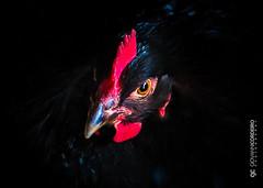 Ms Australorp (G. Cordeiro) Tags: red black bird chicken aves fowl hen avian wattle australorp