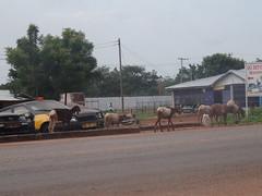 (hanna.ghana2014) Tags: street nature goat ghana sit tamale