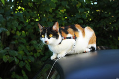 IMG_4820 (★ Lettie Photography ★) Tags: pet cats pets animal animals cat chats chat kitty calico calicocat calicocats