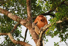PROBOSCIS MONKEY (DIGITAL / EXPRESSIONS / LB) Tags: rainforest jungle malaysia borneo orangutan mangroves sabah kota sepilok flyingsquirrel kecil besar proboscismonkey kinabatanganriver sakau