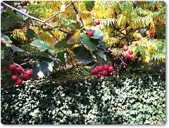 Again comes the time of berries-Ismét közeleg a bogyós világ (Katalin Réz) Tags: autumn leaves berries fleursetpaysages lovelymotherearth