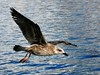 Gull  Preston Dock D210bob DSC_8511 1654 (D210bob) Tags: dock gull preston 1654 dsc8511 d210bob