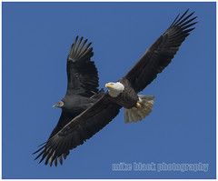 Bald Eagle + Black Vulture (Mike Black photography) Tags: new black bird fall mike animal canon lens is big eagle dam wildlife year birding bald nj maryland aves shore jersey usm 2014 800mm conowingo