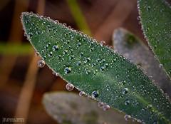 Rosada a l'Alcntera ( alfanhu) Tags: macro closeup droplets drops spring pond gotas font sella rosada gotitas roco alcntera