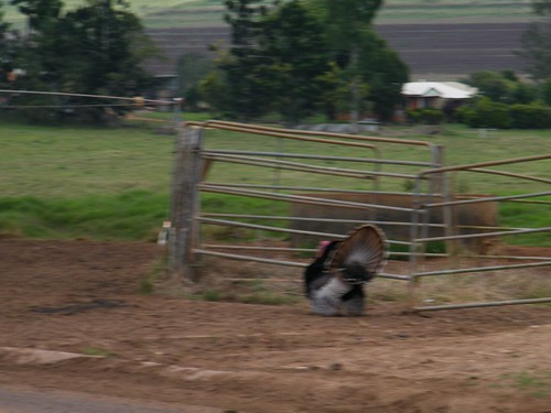 Gallo Turkey 01