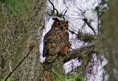 Great Horned Owl, Bubo virginianus, Mulberry Florida Area, Photo by Wes (wesbird72) Tags: bird eye birds america moss wings eyes florida fort tail great birding wing feathers feather ears american owl spanishmoss twig perch aba perched horn winged birder greathornedowl mulberry mosses feathered horned eared lonesome bubovirginianus northamericanbirds birdsofflorida floridabird floridabirds hillsboroughcounty americanbirds birdsofnorthamerica americanbirdingassociation floridabirding fortlonesome photobywes ftlonesome mulberryflorida abaarea birdingflorida floridabirder americanbirding americanbirder mulberryfloridaarea
