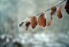wait (joy.jordan) Tags: winter texture leaves poetry frost bokeh