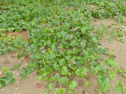 Bay Bean (Canavalia rosea)