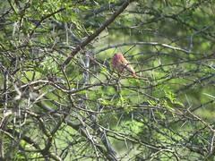 IMG_5452 (Marko_J_Aho) Tags: bird 5star redbilledfirefinch afrikka2013 mahongoza