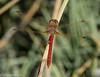 Sympetrum gilvum, Arequipa, Peru (hogsas) Tags: peru dragonflies dragonfly andes arequipa peruvianimages symperiumgilvum symperium