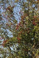 Ein fruchtender Weißdorn (Crataegus sp.); Bergenhusen, Stapelholm (18) (Chironius) Tags: stapelholm bergenhusen schleswigholstein deutschland germany allemagne alemania germania германия niemcy frucht fruit frutta owoc fruta фрукты frukt meyve buah rosids fabids rosales rosenartige rosaceae rosengewächse rosoideae pyreae kernobstgewächse pyrinae crataegus weisdorn