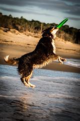 21122014-IMGP3572 (DamZs) Tags: dog chien beach australian australien aussie plage berger shepherds