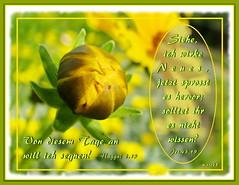 Ich wirke Neues / I do a new thing (Martin Volpert) Tags: flower fleur christ god jesus flor pflanze bible blomma christianity blume bibbia fiore blte blomst virg christus lore biblia bloem blten gott blm iek floro kwiat flos ciuri bijbel schpfung kvet kukka cvijet flouer glauben christentum blth evangelium cvet zieds is winterlinge floare blome iedas bibelverskarte mavo43