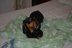 _141203_3742 (verbeek_dennis) Tags: dachshund tax kaapo dashond myrkoira  gravhund jazvek tksa