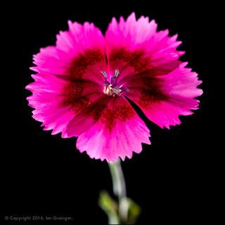 48/100 - Dianthus