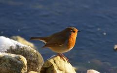 Rotkehlchen in der Morgensonne (karinrogmann) Tags: bird robin vogel uccello rotkehlchen pettirosso