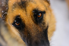 Shepherd's Flakes (jeremyullmann) Tags: travel winter dog pet white snow france closeup snowflakes eyes focus europe hiver germanshepherd dogphotography travelphotography