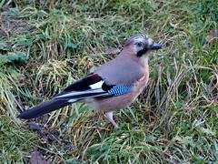 Eichelhher I, (Garrulus glandarius), Eurasian jay (klausrueffer) Tags: vgel rabenvogel eichelhher olympusem1