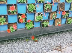 . (kaniths) Tags: travel flower colorful dubai uae emirates fallen dubaimiraclegarden