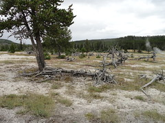 Yellowstone National Park, Wyoming (yellowroseoftexasmindy) Tags: trees landscapes scenery parks yellowstone wyoming nationalparks hotsprings geysers basins