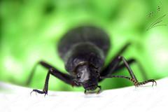 Beetle الخنفساء (محمد بوحمد بومهدي) Tags: animal bug insect nikon beetle insects bugs mohammed حيوانات حشرة حيوان d810 maicro نيكون بوحمد buhamad حشرات مايكرو خنافس خنفساء أمحمدبوحمد