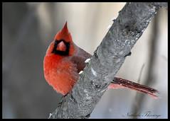 Cardinal en repos (N Thivierge) Tags: cardinal oiseau