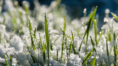 Backlit Grass with melting snow (IanbPhoto) Tags: snow grass melting with jan sony small sigma backlit spattering 2015 a700 18250