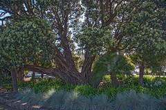 Whangarei Tree (fotofrysk) Tags: newzealand tree landscaping northisland northland whangarei townbasin 201411091414