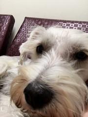 Angel's Selfie (BKHagar *Kim*) Tags: portrait dog pet white angel nose miniature office canine schnauzer pooch sick bestfriend furbaby vets hge bkhagar dogselfie