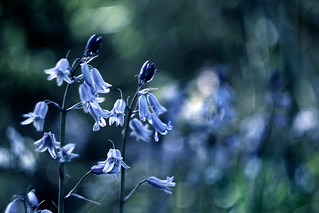 Bluebells dancing in the breeze