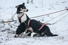 IMG_0382-1 (Andre56154) Tags: schnee winter snow husky sweden schweden hund sledge schlitten schlittenhund sledgedog