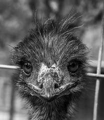 You Talkin' To Me? (sapere18) Tags: blackandwhite spring tennessee ostrich april rocio sevierville 2016 deerfarm