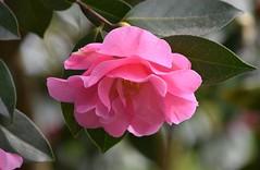 Camellia (careth@2012) Tags: petals spring nikon britishcolumbia camellia nikond3300 d3300