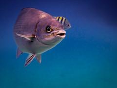 F4674E7 - Roatan Fish Turning Left (Bob f1.4) Tags: blue sea fish west beach water swim island bay snorkel infinity dive honduras resort end caribbean roatan reef