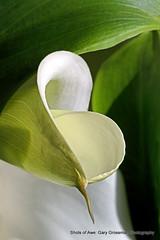 Calla Lily (Gary Grossman) Tags: abstract flower oregon garden spring callalily willamettevalley garygrossmanphotography shotsofawe