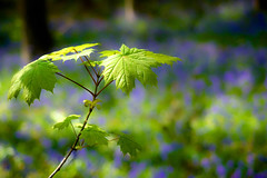 Woodland Bokeh..... (klythawk) Tags: blue trees brown sunlight green leaves bluebells bokeh olympus nottinghamshire omd em1 clumberpark 1240mm klythawk