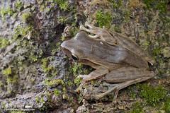 Polypedates leucomystax_MG_7180 copy (Kurt (OrionHerpAdventure.com)) Tags: frog tropicalfrogs polypedatesleucomystax fourlinedtreefrog frogsofmalaysia