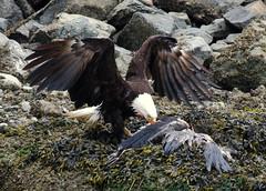 IMGP4778 (annahesser) Tags: blue heron eagle great bald
