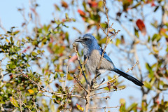 MINWR-269.jpg (Candy Perk) Tags: bird birds processed scrubjay merrittisland
