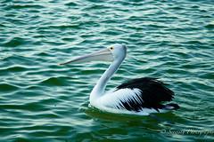 IMG_1058 (gsreejith) Tags: pelicans water birds pelican theentrance