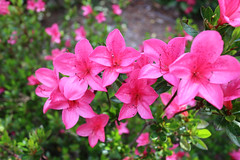 IMG_3078.JPG (robert.messinger) Tags: flowers rhodies