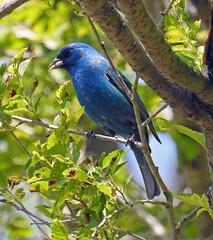 Indigo bunting (carpingdiem) Tags: birds spring indianapolis indigobunting
