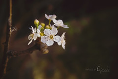 Cherry Blossom (Images by April) Tags: nightphotography flower canon nightshot cherryblossom tamron1750mmf28 canont2i550dtamronf28