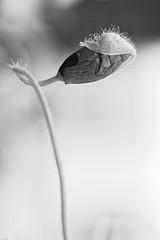 Poppy in B&W (Sigi.Ludwig) Tags: bw white black flower nature zeiss t nikon availablelight poppy weiss schwarz d800 schrfentiefe papaveraceae carlzeiss weis carlzeissjena schwarweiss bokhe zf2 makroplanart2100 nikond800 zeissmakroplanart2100zf2
