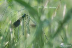 Au rveil (photosenvrac) Tags: macro bokeh insecte libellule beaugency natura2000 caloptryx thierryduchamp