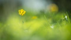 Sunbathing - Pentacon 135 2,8 (Mureau A) Tags: old sun flower yellow jaune vintage lens prime soleil nikon bokeh or ranunculus manuel m42 manual 135 pentacon sunbathing gdr d800 mureau ranoncule