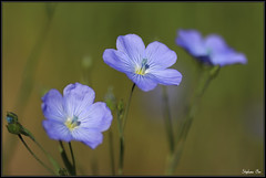 Les trois soeurs (HimalAnda) Tags: blue france flower macro fleur trois three bleu lin tamron90mm macrophotography vende canoneos70d eos70d stphanebon