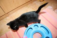 Gata Pucca (29) (adopcionesfelinasvalencia) Tags: gata pucca