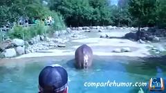 Animales (Comparte Humor) Tags: zoo humor animales caca videos mierda graciosas risas hipopotamo peo hipopotamos zoologico cagando peos cacas mierdas cagar defecar zoologicos defecando playstore ventosidad compartehumor ventosidades